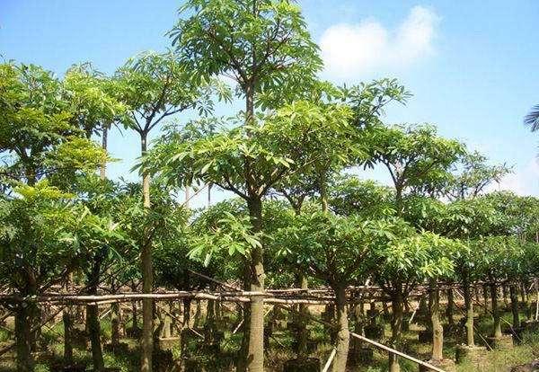 盆架子树苗