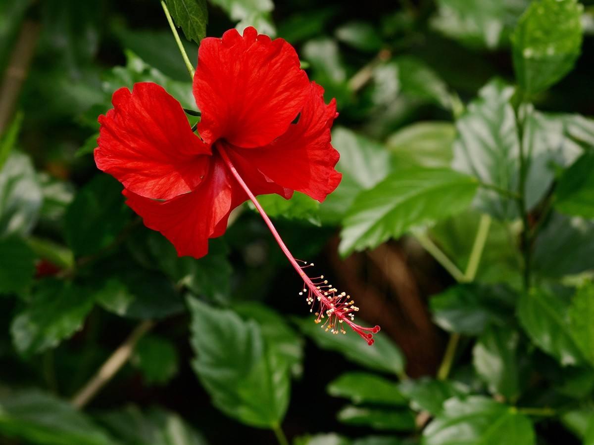 大红花苗木