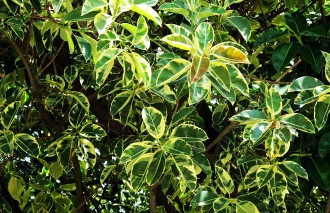 斑叶榕树苗